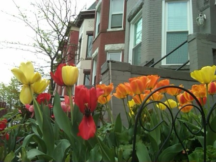 Mid-April Tulips in Bloomingdale, 2011.