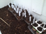 Labeled and in THE cold frame!