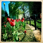 Tulips in the Circle