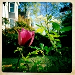 Tulip and dogwood