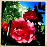 Peonies spilling over wrought iron