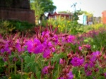 Hot pink in the LeDroit Park rain garden