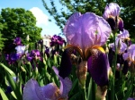 Iris bed in Bloomingdale