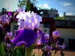 Irises overlooking an alley