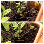 Containers LOVE a little mulch.  It's a huge moisture regulator come summer.  (Before/after pictured)
