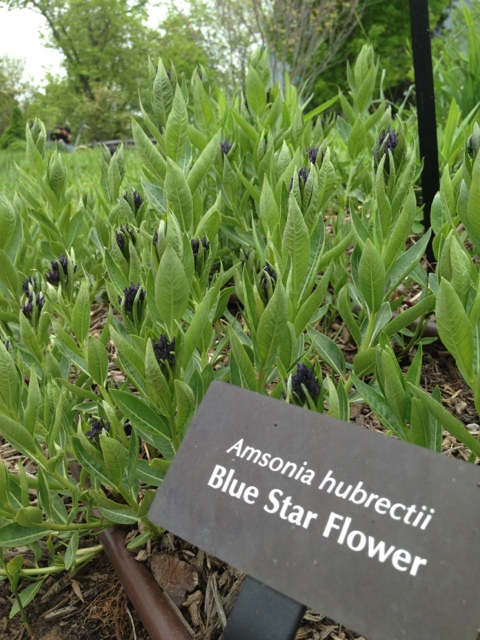Blue Star Flower
