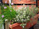 Chives, Thyme and Golden Sage (tiny in the back)