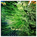 My Chives and Thyme very happy together