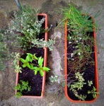 L: Old planter with added lemon thyme and pineapple sage.  R: New planter with divided herbs.