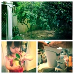 Backyard grapefruit trees and their fresh juice