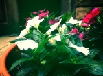 Park Slope popping with New Zealand impatiens this late May