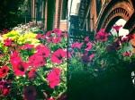 Petunias work hard all summer