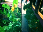 Chard, basil and flowers in Al di La's window boxes along 5th in Park Slope