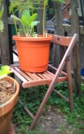The glued snaggle-slatted chair lives on as a sturdy and handsome tomato plant stand.
